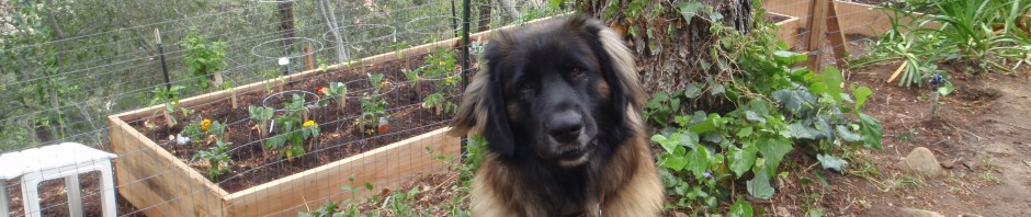Our Leonberger waiting by our Vegetable Garden