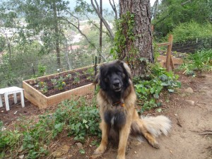 Our wonderful Leonberger dog waiting by our vegetable garden