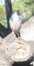 Spunky Blue Jay